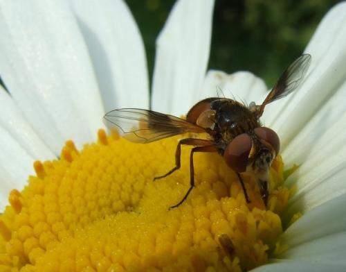 ectophasia sp une jolie mouche sur une belle fle le monde des insectes. Black Bedroom Furniture Sets. Home Design Ideas
