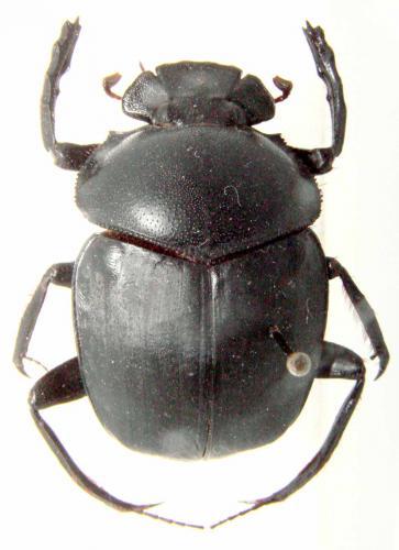 http://www.galerie-insecte.org/galerie/image/dos40/big/scarabaeus_sp._n.jpg
