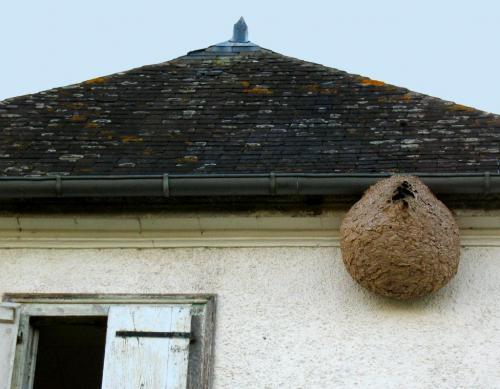 Le frelon asiatique, mangeur d'abeilles, se propage à une allure effrénée
