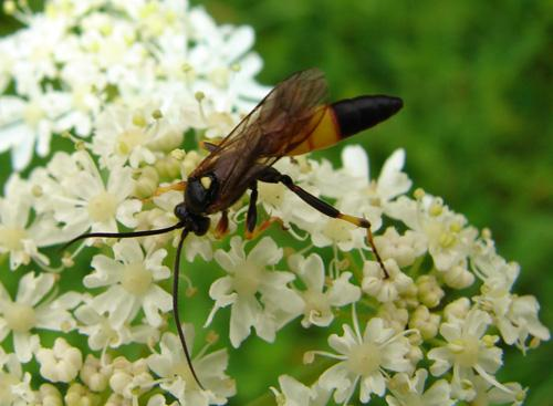 Ichneumoninae mouche noire et jaune le monde des - Mouche jaune et noire ...