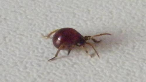 Gibbium sp acariens le monde des insectes - Araignee rouge savon noir ...
