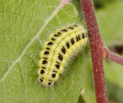 Zygaena sp belle chenille jaune et noire le monde des insectes - Chenille jaune et noire danger ...