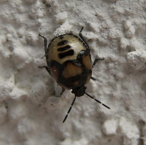 tritomegas sp coccin elle le monde des insectes. Black Bedroom Furniture Sets. Home Design Ideas