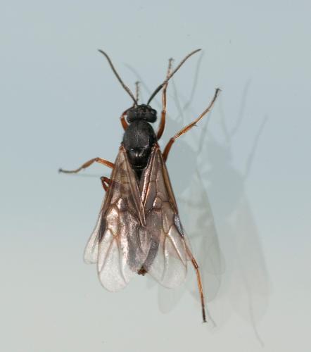 formica sp m m fourmi ail e le monde des insectes. Black Bedroom Furniture Sets. Home Design Ideas