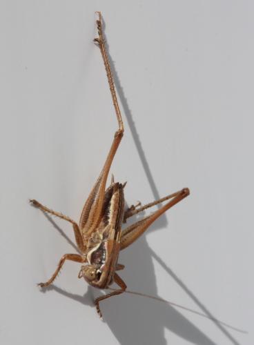 tettigoniidae petite sauterelle marron le monde des insectes. Black Bedroom Furniture Sets. Home Design Ideas