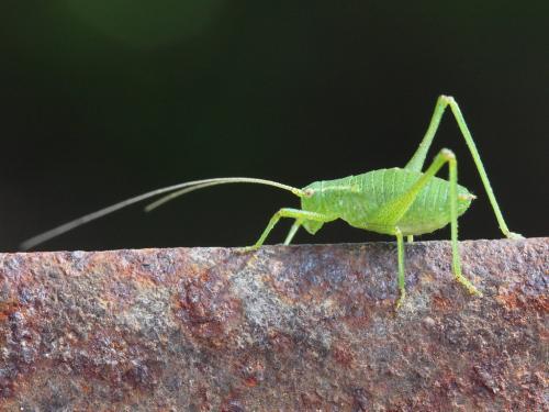 phaneropteridae petite sauterelle verte le monde des insectes. Black Bedroom Furniture Sets. Home Design Ideas
