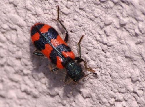 Trichodes alvearius un cleridae rouge et noir le monde des insectes - Insecte rouge et noir ...