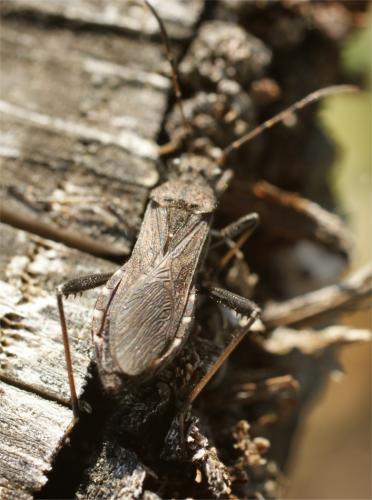 Alydus calcaratus alydidae le monde des insectes - Taille des groseillers ...