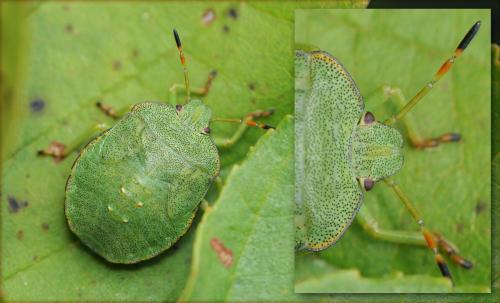 [Palomena prasina] Palomena_viridis