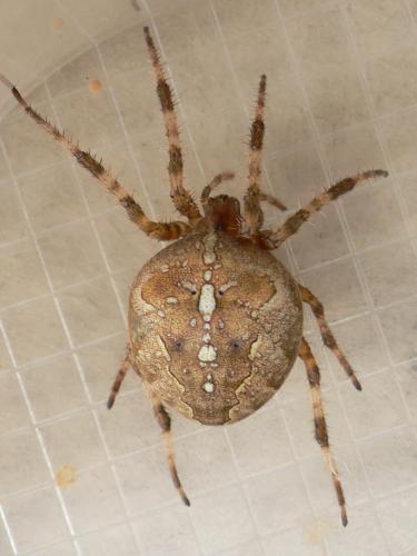 Araneus diadematus une grosse araign e le monde des for Araignee de maison