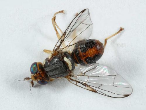 bactrocera oleae mouche inconnue le monde des insectes. Black Bedroom Furniture Sets. Home Design Ideas