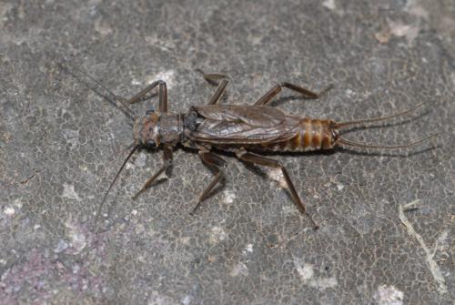 Dinocras , Plecoptère adulte