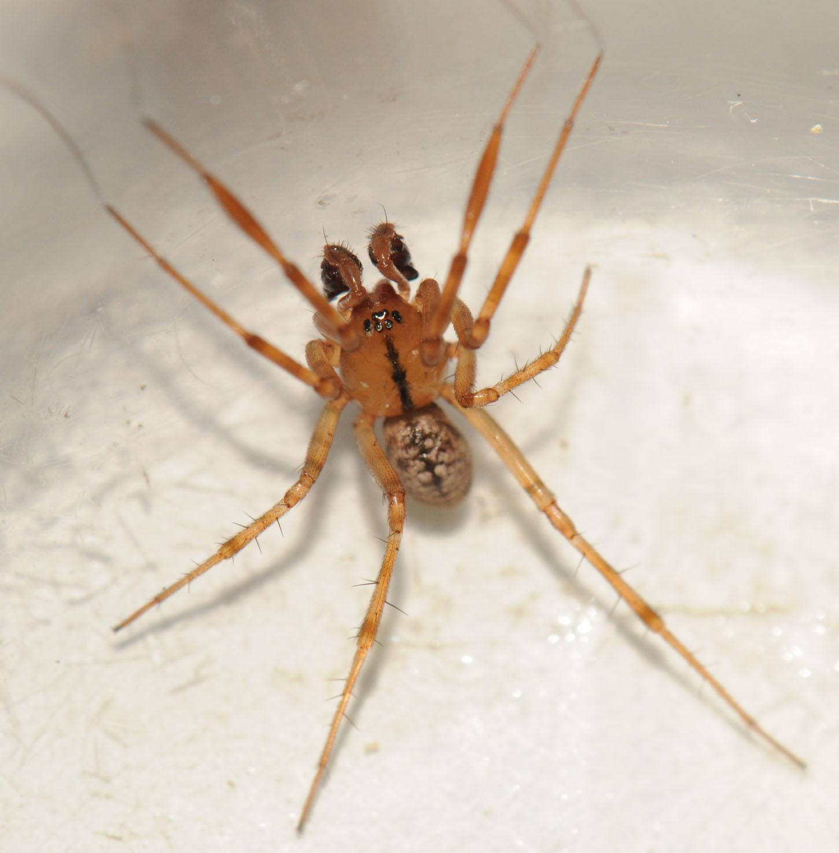 Petite araignée 062l