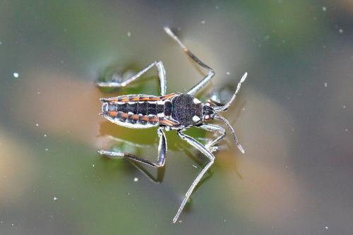 velia sp punaise d 39 eau le monde des insectes. Black Bedroom Furniture Sets. Home Design Ideas