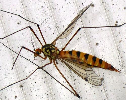 nephrotoma scalaris un cousin du moustique le monde des insectes. Black Bedroom Furniture Sets. Home Design Ideas