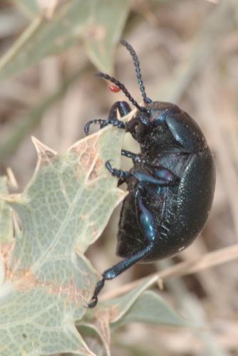 timarcha timarchostoma goettingensis timarcha le monde des insectes. Black Bedroom Furniture Sets. Home Design Ideas