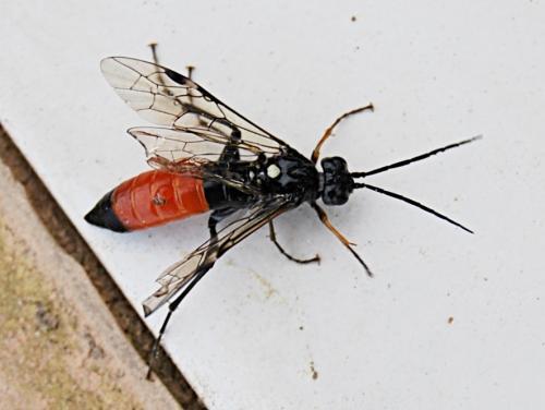 Tenthredopsis coquebertii noir et rouge un symphyte le monde des insectes - Insecte rouge et noir ...