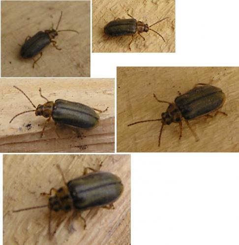 insecte xylophage maison ventana blog. Black Bedroom Furniture Sets. Home Design Ideas