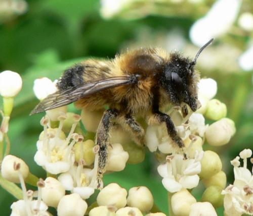 Megachile petit megachilid le monde des insectes for 38150 roussillon