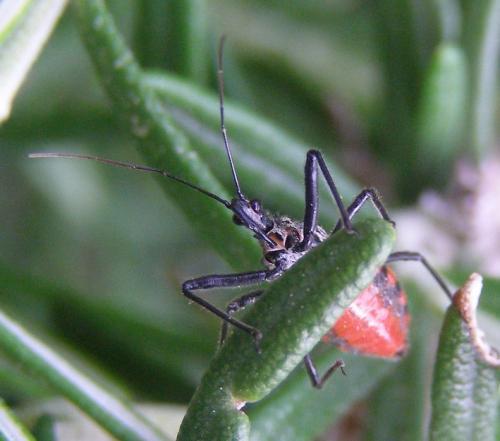 sphedanolestes sanguineus une r duve le monde des insectes. Black Bedroom Furniture Sets. Home Design Ideas