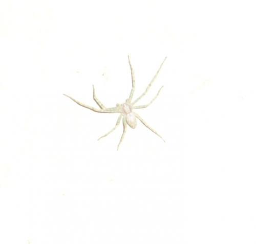 Philodromus sp araign e blanche le monde des insectes for Araignees dans maison