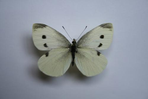 R�f. 59813 : Pieris rapae