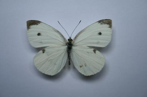 R�f. 59816 : Pieris rapae