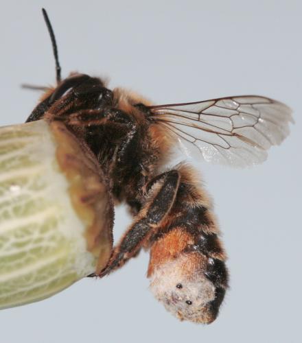 megachile sp m gachile le retour le monde des insectes. Black Bedroom Furniture Sets. Home Design Ideas