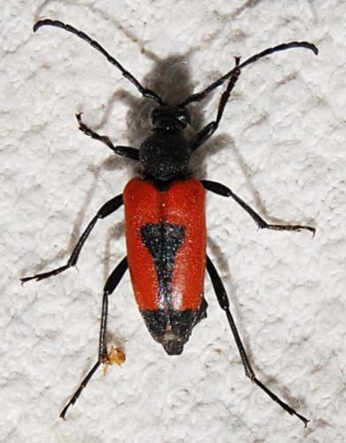 Stictoleptura cordigera lepture rouge et noire le monde des insectes - Insecte rouge et noir ...