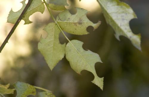 Megachile sp feuilles de rosier savamment d coup es le monde des insectes - Feuilles de rosier qui jaunissent ...