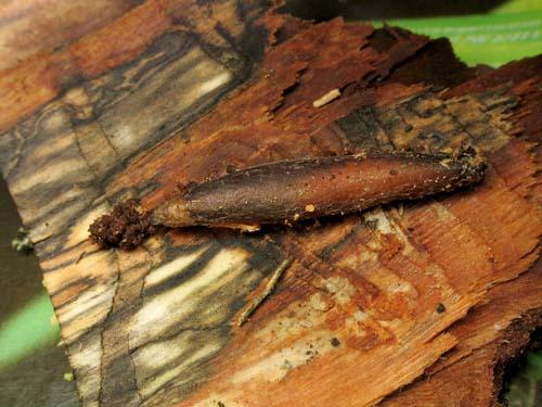 xorides sp larves dans le bois hymenoptere le monde des insectes. Black Bedroom Furniture Sets. Home Design Ideas