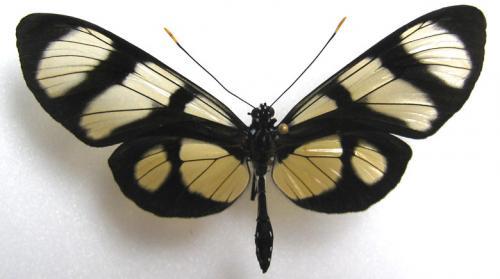 Un bel Ithomiidae de Guyane Lepido