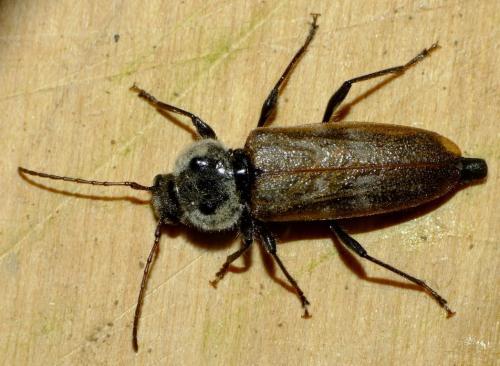 hylotrupes bajulus col o pronotum pileux le monde des insectes. Black Bedroom Furniture Sets. Home Design Ideas