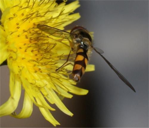 Meliscaeva auricollis petite syrphe le monde des insectes - Taille des groseillers ...