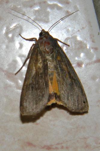 Noctua pronuba papillon de nuit le monde des insectes - Invasion papillon de nuit ...