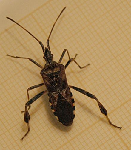 leptoglossus occidentalis oh punaise le monde des insectes. Black Bedroom Furniture Sets. Home Design Ideas
