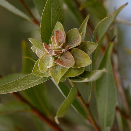 www.galerie-insecte.org/galerie/image/dos65/big/rhabdophaga_dasi.jpg