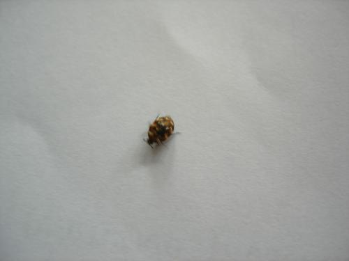 Anthrenus sp insecte dans ma maison le monde des insectes - Insecte dans les maisons ...