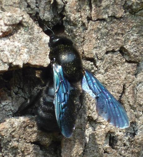 [Xylocopa sp F] Insecte mangeant bois mort Le Monde des insectes
