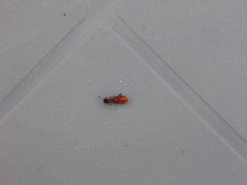 thanasimus formicarius quel est cet insecte dans mon bois de chauffage le monde des insectes. Black Bedroom Furniture Sets. Home Design Ideas