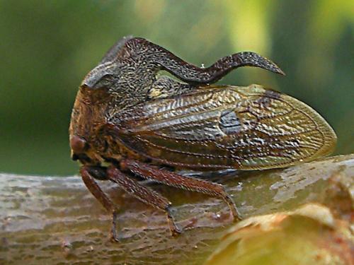 Mini Monstres - Les Membracides  Centrotus_cornut