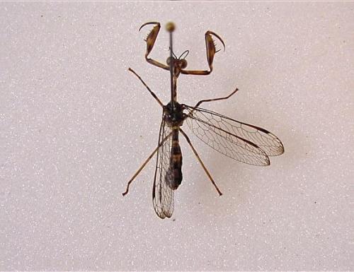 Mantispidae Mecoptere