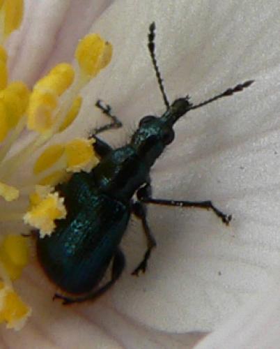 lasiorhynchites sp un charan on des bois le monde des insectes. Black Bedroom Furniture Sets. Home Design Ideas