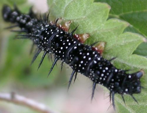 Aglais io chenille noire points blancs le monde des insectes - Chenille verte et noire ...