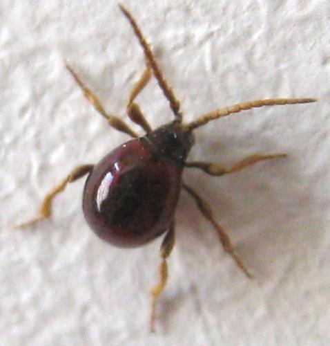 Gibbium sp envahisseurs trange dans ma maison le monde des insectes - Insecte de bois maison ...