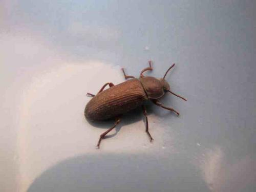 tenebrio sp demande identification le monde des insectes. Black Bedroom Furniture Sets. Home Design Ideas