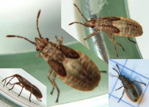 Arocatus roeselii une gar e le monde des insectes - Comment savoir si on a des termites ...