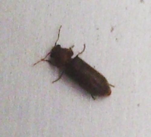 ptinidae insectes aux murs et au plafond qu 39 est ce le monde des insectes. Black Bedroom Furniture Sets. Home Design Ideas