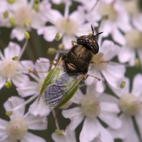 Oplodontha viridula mouche mi verte le monde des insectes - Invasion de mouches vertes ...
