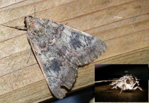 Catocala sp papillon de nuit gris le monde des insectes - Duree de vie papillon de nuit ...